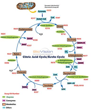 Krebs Cycle Biovision Inc