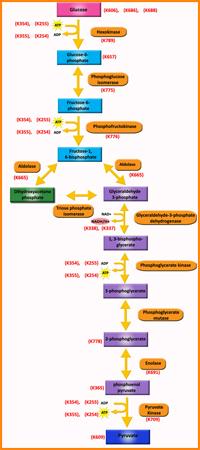 enzymatic diagram of glycolysis glycolysis pathway metabolism assays biovision  inc  glycolysis pathway metabolism assays