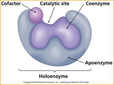 Coenzymes & Cofactors | Metabolism Assays | BioVision, Inc.