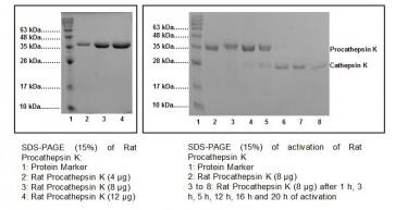 Procathepsin K, rat recombinant