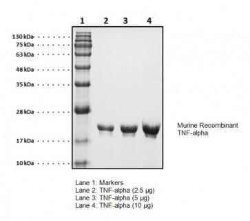 TNF-alpha, murine recombinant