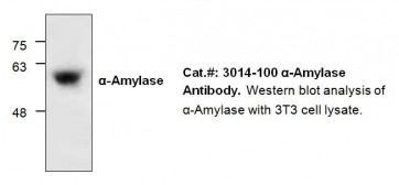 Alpha-Amylase Antibody