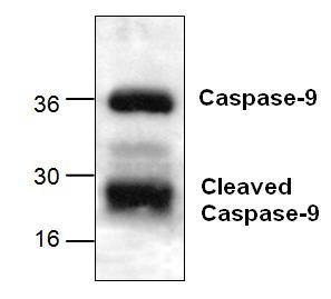 Caspase-9 Antibody