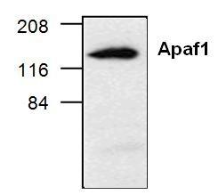 Apaf-1 Antibody