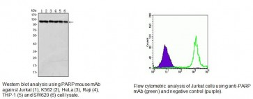 PARP Antibody (Clone 7A10)