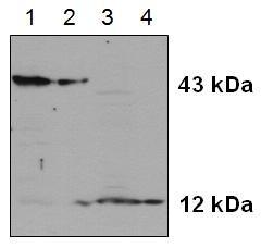 Caspase-2 Antibody