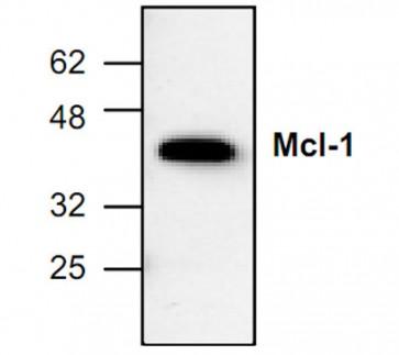 Mcl-1 Antibody
