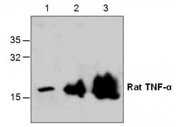 TNF-alpha Antibody