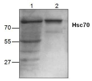 Hsc70 Antibody