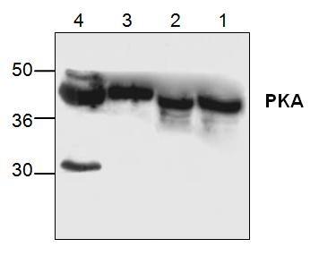 PKA Antibody