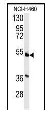 HNF4A Antibody