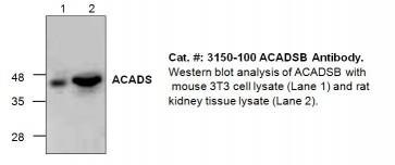 ACADSB Antibody