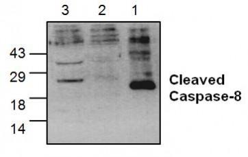Caspase-8 Antibody