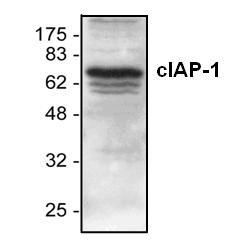 cIAP-1/HIAP-2 Antibody