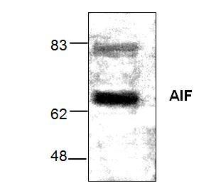 AIF Antibody