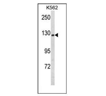 Nestin Antibody