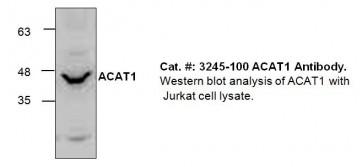 ACAT1 Antibody
