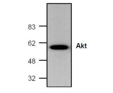 Akt/PKB Antibody