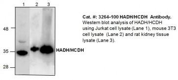 HADH/HCDH Antibody