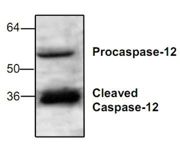 Caspase-12 Antibody