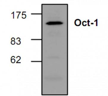 Oct-1 Antibody