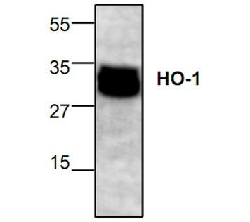 Heme Oxygenase-1 Antibody