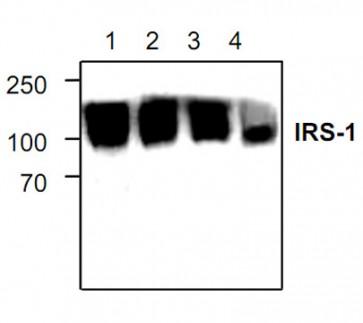 IRS-1 Antibody