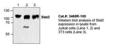 Stat2 Antibody