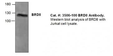 BRD8 Antibody