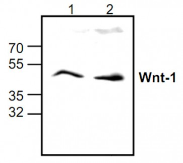 Anti-Wnt-1 Antibody