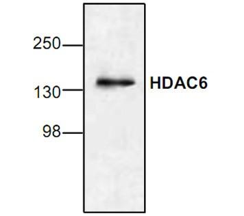 HDAC6 Antibody