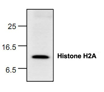 Histone H2A Antibody