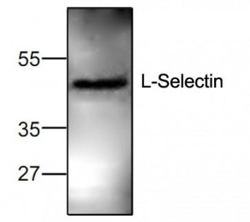 L-Selectin/CD62L Antibody
