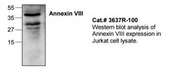 Annexin VIII Antibody