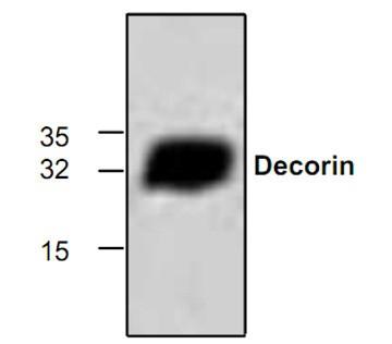 Decorin Antibody