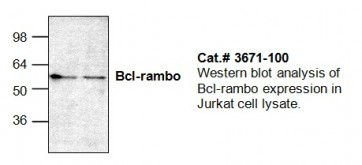Bcl-Rambo Antibody
