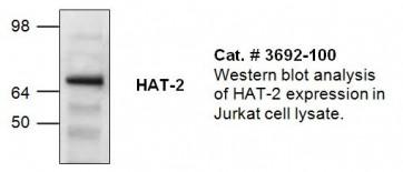 HAT-2 Antibody