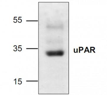 uPAR Antibody