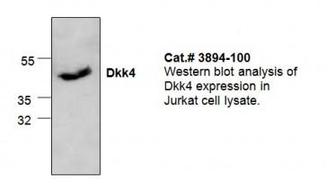 DKK4 Antibody