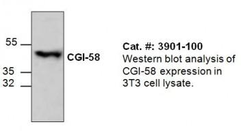 CGI-58 Antibody