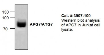 APG7/ATG7 Antibody