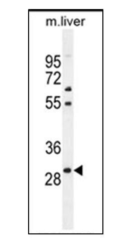 PHOX2B Antibody