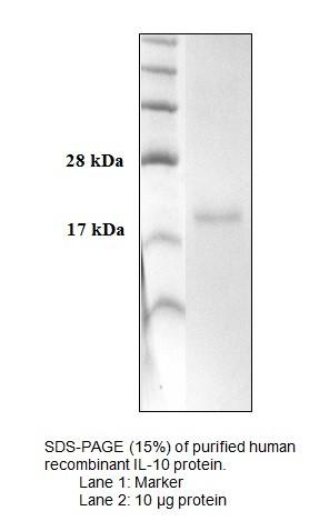 IL-10, human recombinant
