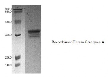 Granzyme A, human recombinant