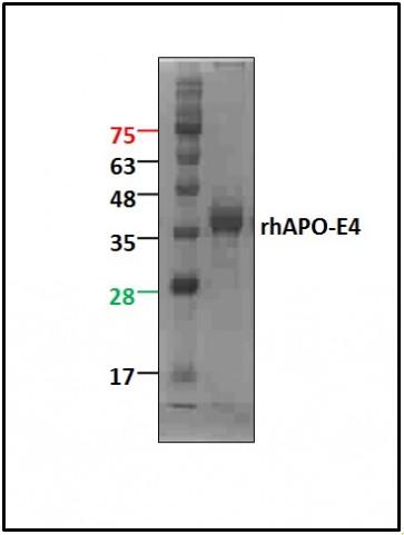 ApoE4, human recombinant