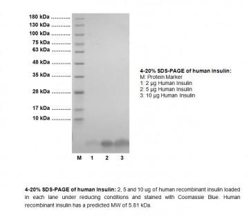 Insulin, human recombinant (E. coli)
