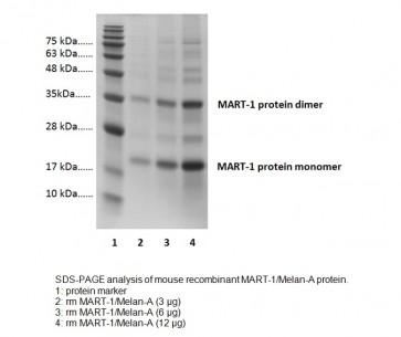 MART-1/Melan-A, mouse recombinant
