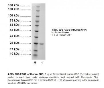 CRP, human recombinant