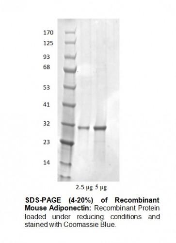 Adiponectin, murine recombinant
