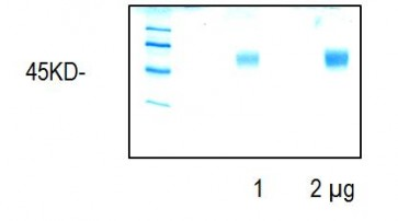 CD-14, mouse recombinant